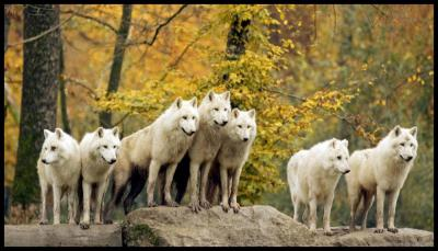 pack-of-white-wolfs-desktop-background.jpg