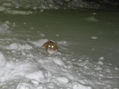 барс-в  снегах.jpg